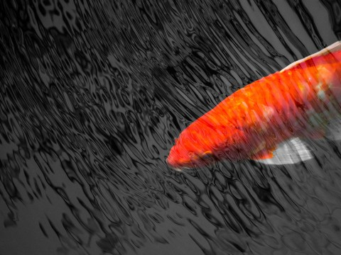 A koi fish swims just under the surface of the water at the Royal Botanical Gardens in Hamilton, Ontario.