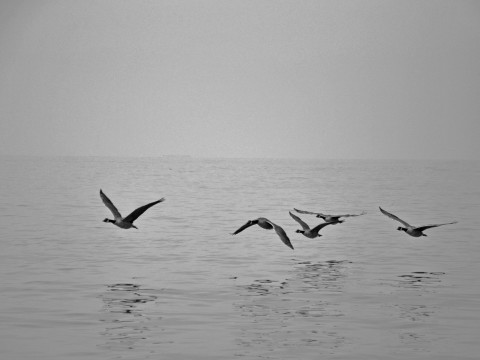 5 Canada geese fly one-by-one low over the ocean.