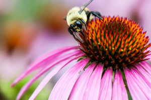 A bumble bee rests on a cone flower.