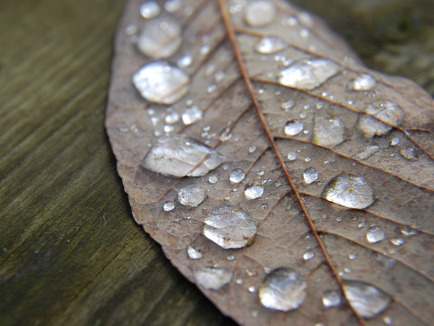 Water droplets rest on a leaf after an autumn rain.