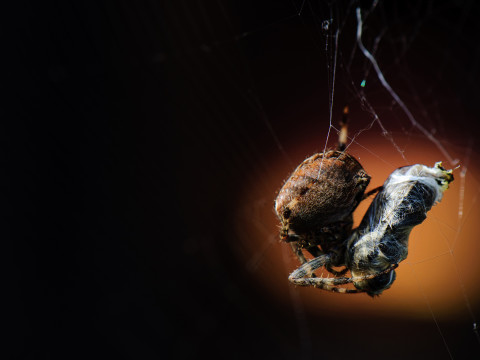 An orb weaver spider wraps a honeybee as they dangle from the spider's web.