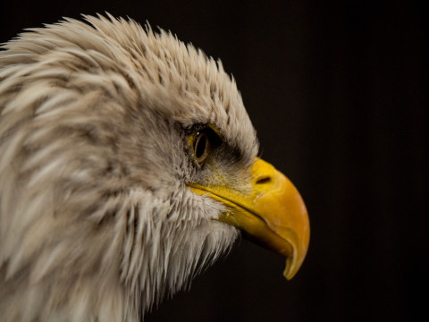 A side profile picture of a young bald eagle with his feathers slightly ruffled.